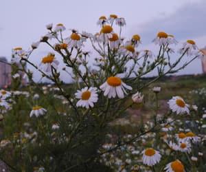 beautiful, nature, and chamomile image