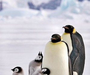 baby penguin and penguins image