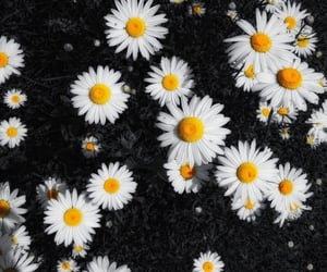 daisies, flower, and flowers image