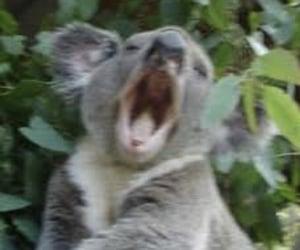 Koala and mood image