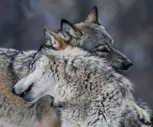 animals, beauty, and wolves image