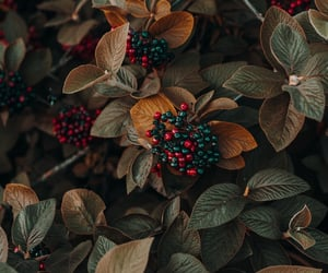 autumn, beauty, and berries image