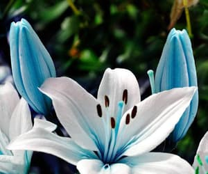 blue, lilly, and flower image