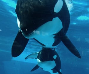 orca, animal, and nature image