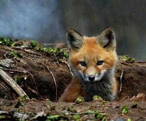animal, zorro, and fox image