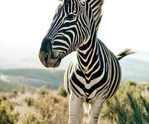 animals, zebra, and wild life image