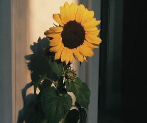 nature, sunflower, and aesthetic image