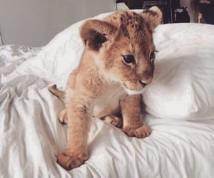 lion, animals, and cute image