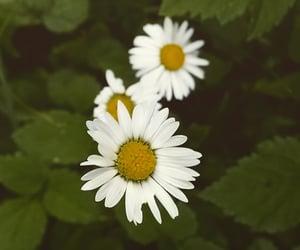 blumen, daisies, and daisy image
