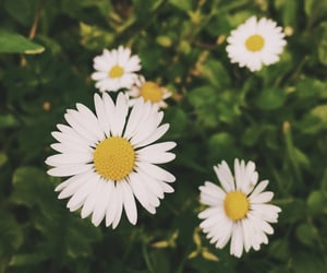 aesthetic, daisies, and spring image