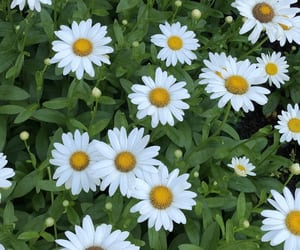 :), aesthetic, and daisy image