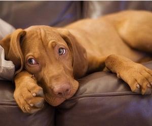 brown, pet, and dog image