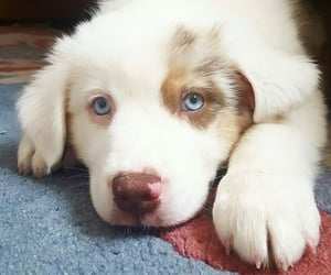blue eyes, lovely, and dogs image