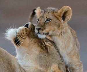lion, animal, and cub image