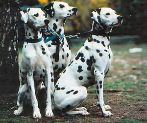 black and white, dalmatian, and dogs image