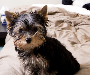 cute, puppy, and yorkie image