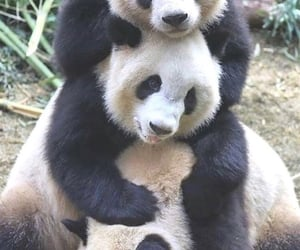 animals, bear, and panda image