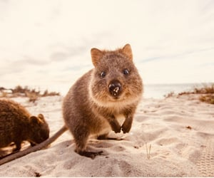 quokka, australia, and beach image