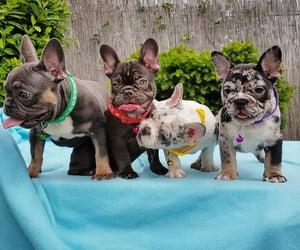bulldog, pet, and puppy image
