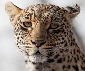 animal, theme, and leopard image