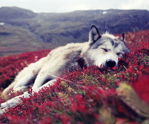 wolf, flowers, and dog image