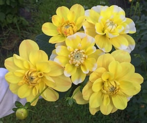 dahlia, flowers, and yellow image