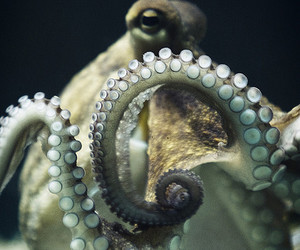 octopus, polvo, and sea image