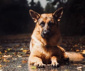 animals, dogs, and german shepherd image