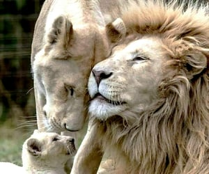 lion, animals, and family image