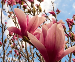 bloom, flowers, and magnolia image