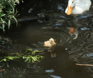 animal, duck, and baby image
