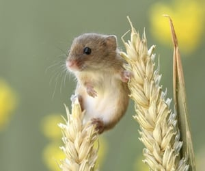 animal, mouse, and wheat image