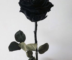 black, roses, and rose image