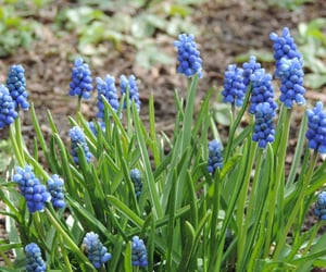blue, finland, and hyacinth image