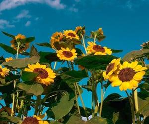 summer, sun, and sunflower image
