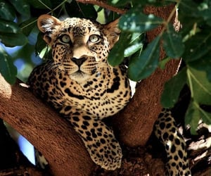 animal, leopard, and tree image