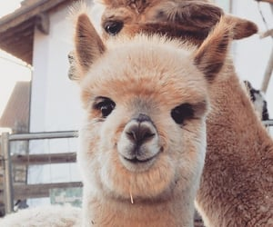animals, lama, and summer image