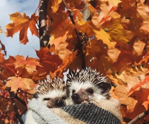 autumn, hedgehog, and cute image
