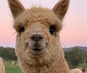 alpaca, wallpapers, and Альпака image