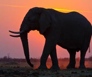 elephant and sunset image