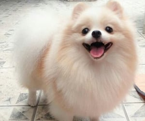 fluffy, pomeranian, and cute image