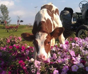 cow, animal, and flowers image