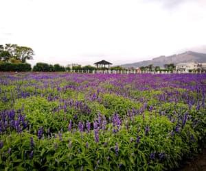 flowers, lavender, and lavender flower image