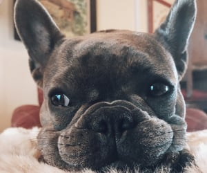 french bulldog, puppy, and frenchie image