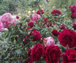colorful, roses, and flower image