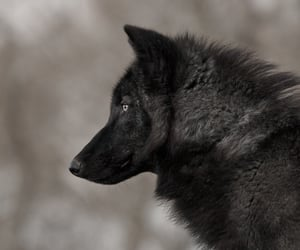 stark, wolf, and dire-wolf image