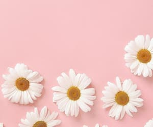 daisy, wallpaper, and flowers image