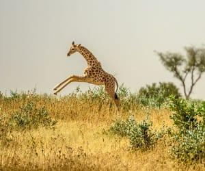 giraffe, nature, and photography image