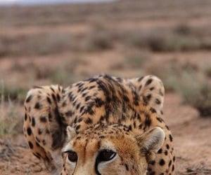amazing, animals, and big cats image