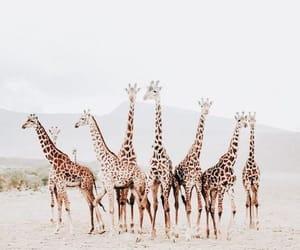 giraffe, animal, and photography image